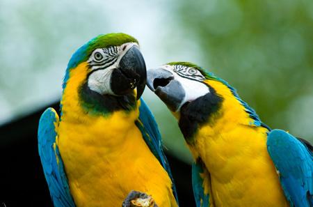 Parrots-kiss